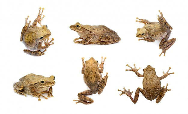 Group of brown frog, polypedates leucomystax, polypedates maculatus. amphibian. animal. Premium Photo