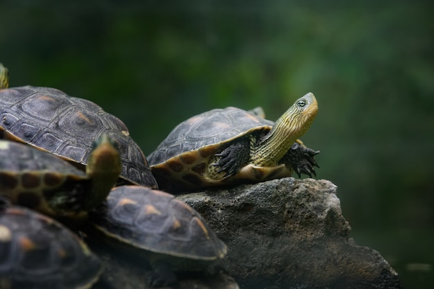 A group of chinese stripe-necked turtles standing on the stone Free Photo
