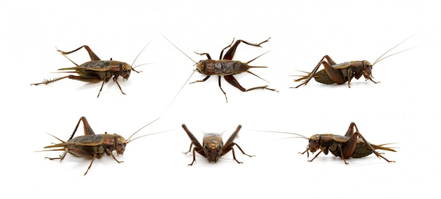 Group of cricket, insects. animals. Premium Photo