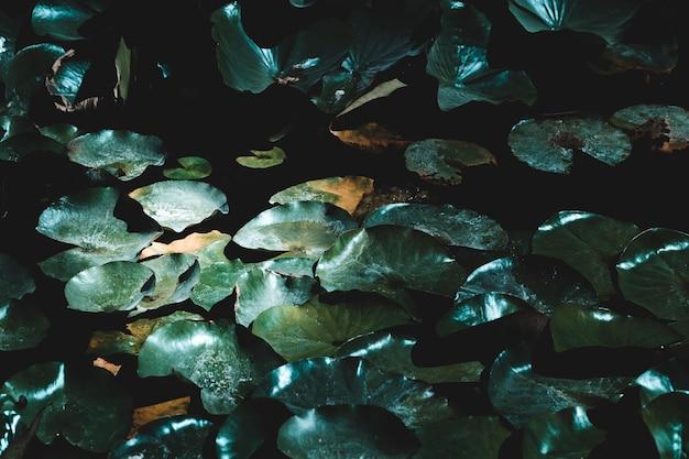 Group of dark water lillies Free Photo