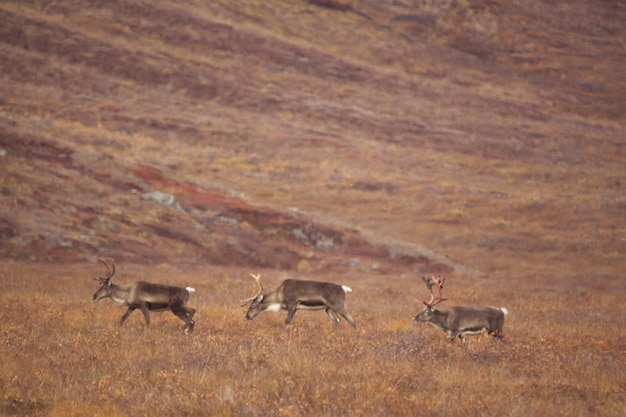 Group of deers wandering in the gates of the arctic national park Free Photo