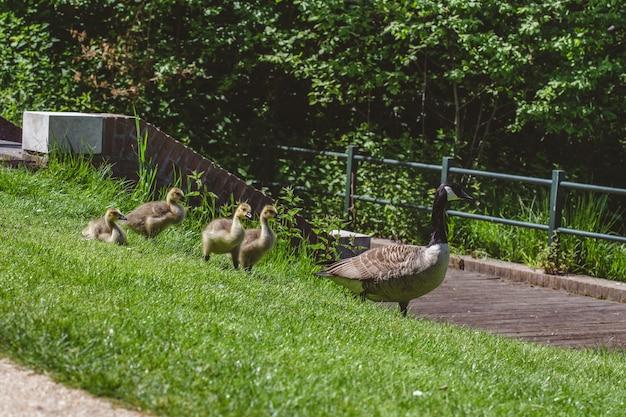 Gruppo di anatre e oche che camminano sul campo erboso in una calda giornata di sole Foto Gratuite