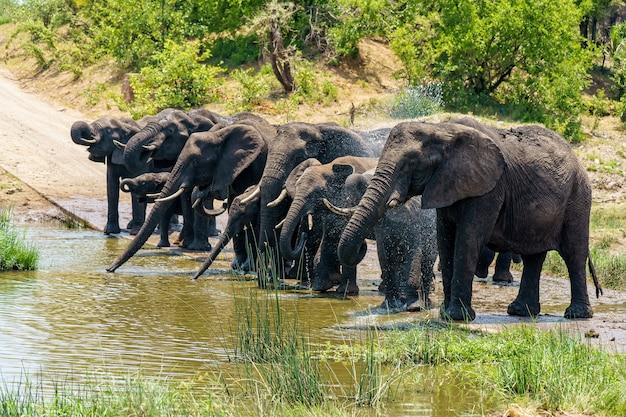 Gruppo di elefanti che bevono acqua su un terreno allagato durante il giorno Foto Gratuite