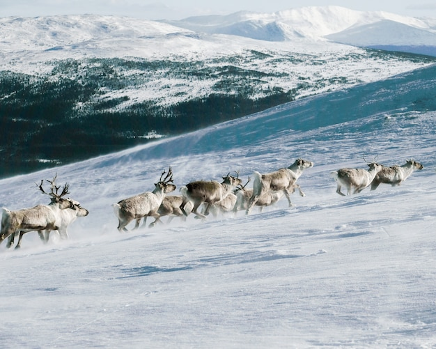 Group of elks climbing up a mountain covered with the snow Free Photo