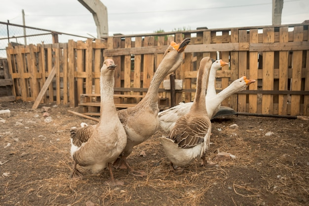 Group of geese on a farm Free Photo