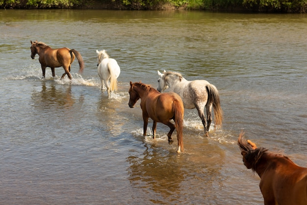 Group of horses running across the river Premium Photo