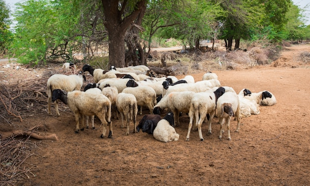 Group of indian goat or sheep in village Photo | Premium