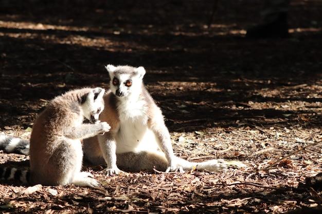 Gruppo di lemuri seduto sul terreno fangoso nel mezzo di una foresta Foto Gratuite