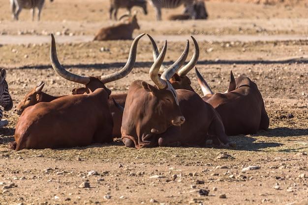 地面に横たわっているアフリカの牛ankole-watusのグループ Premium写真