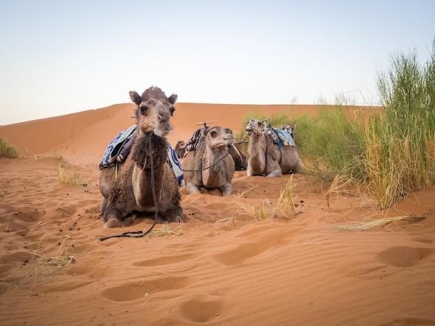 モロッコの草に囲まれたサハラ砂漠の砂の上に座っているラクダのグループ 無料写真