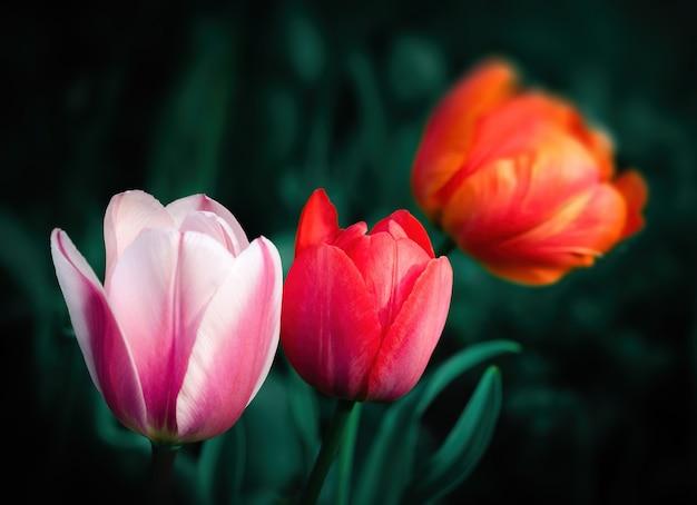 Группа красочных тюльпанов в саду в весеннее время. малая глубина резкости. Premium Фотографии