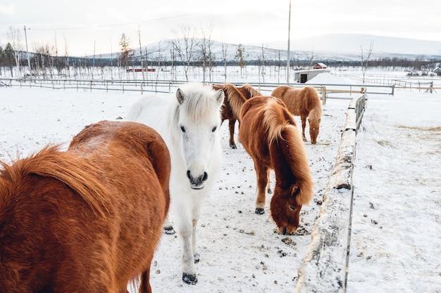 북부 스웨덴의 눈 덮인 시골에서 놀고있는 귀여운 말의 그룹 무료 사진