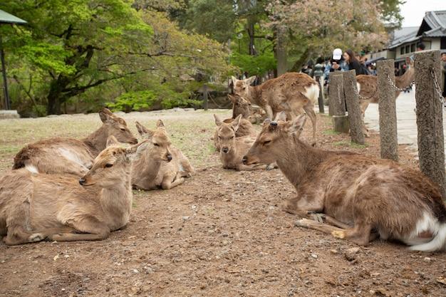地面に横たわっている鹿のグループ 無料写真