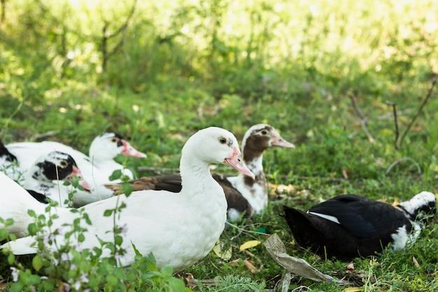 自然の中の国内のアヒルのグループ 無料写真