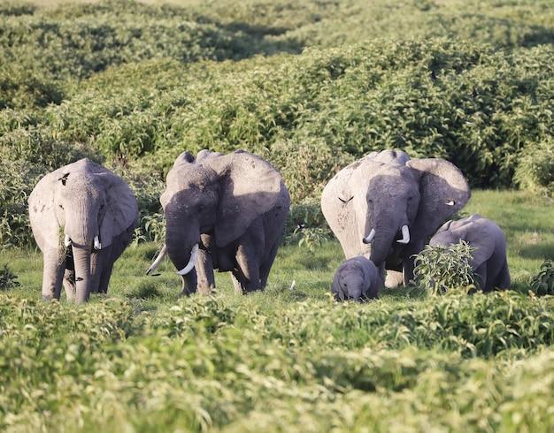 Группа слонов в национальном парке амбосели, кения, африка Бесплатные Фотографии