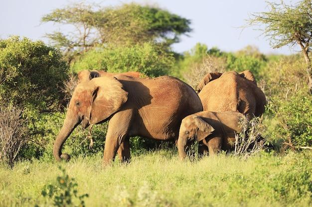 ツァボイースト国立公園、アフリカ、ケニアの象のグループ 無料写真