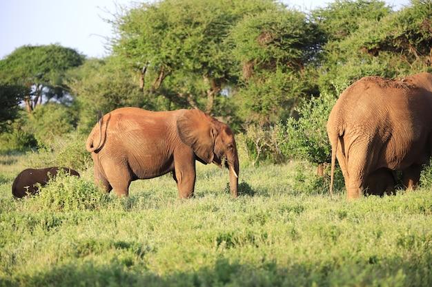 アフリカ、ケニア、ツァボイースト国立公園の象のグループ 無料写真