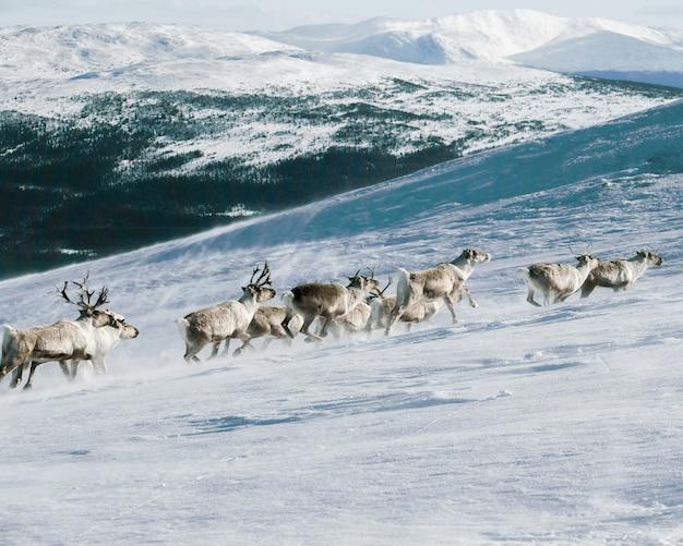 Группа лосей, поднимающихся на гору, покрытую снегом Бесплатные Фотографии