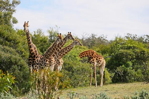 木の近くの草で覆われた丘の上に立っているキリンのグループ 無料写真