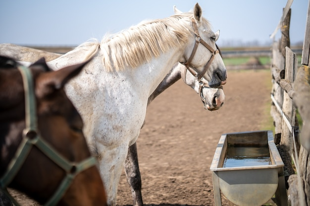 Группа лошадей с уздечками возле поилки на ферме Бесплатные Фотографии