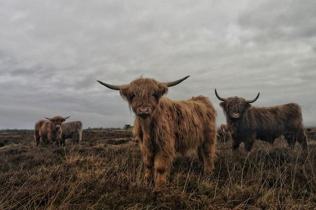 灰色の曇り空と長髪のハイランド牛のグループ 無料写真