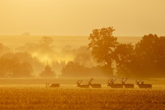Группа нескольких оленей оленей вместе ходить в утреннем тумане Premium Фотографии