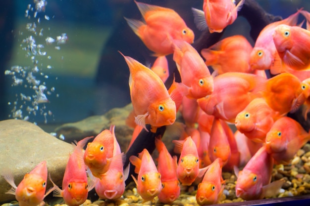 group of red parrot cichlid photo premium download
