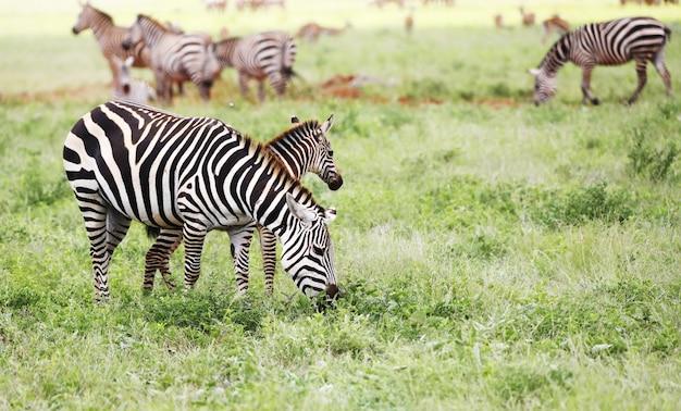 アフリカ、ケニアのツァボイースト国立公園で放牧しているシマウマのグループ 無料写真
