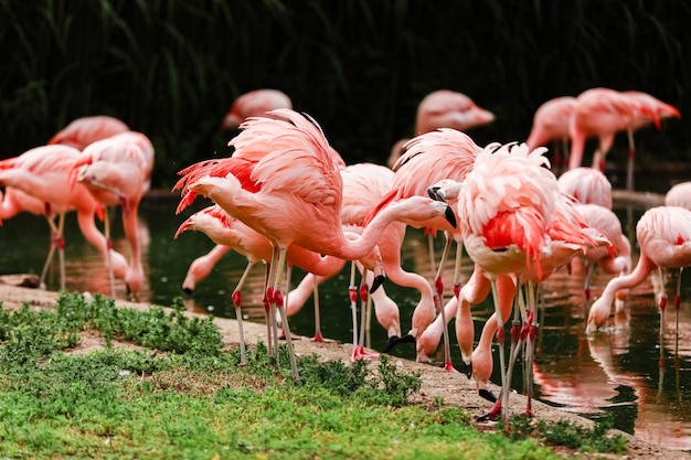 A group of pink flamingos hunting in the pond Premium Photo