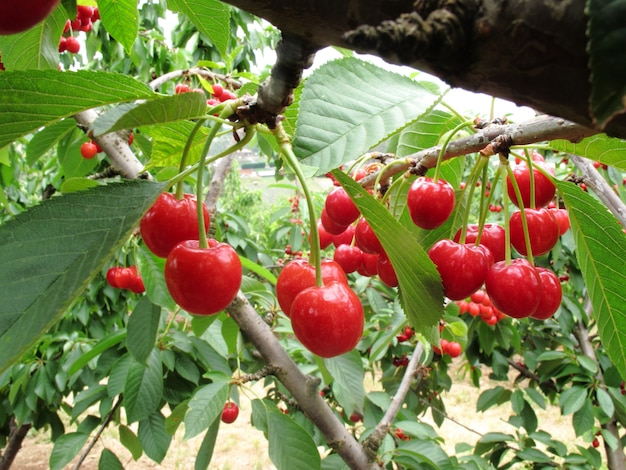Group of red cherry on tree have many green leaves in farm in melbourne Premium Photo