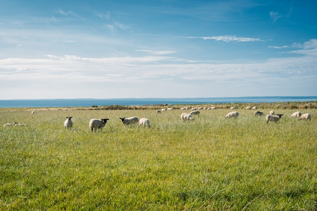 Group of sheep in a grass field, Premium Photo