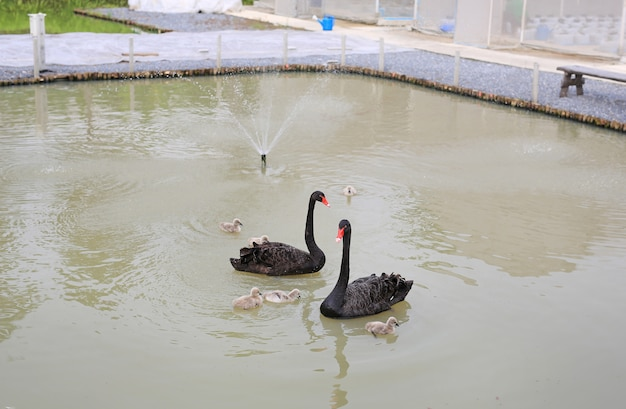 Group of swans floating in pond. Premium Photo