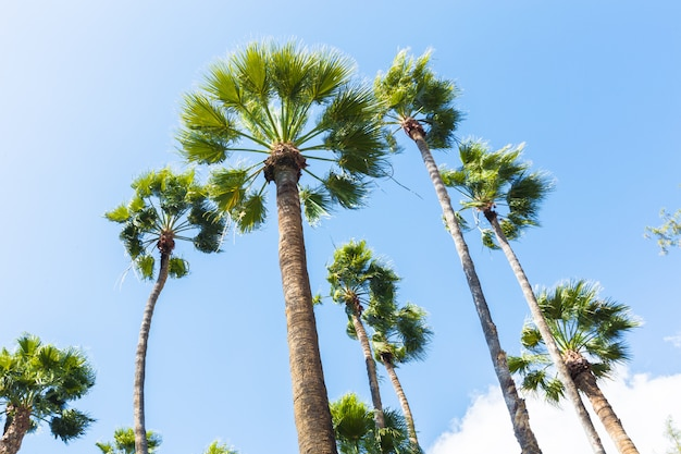 Group of tall palm trees bottom view Premium Photo