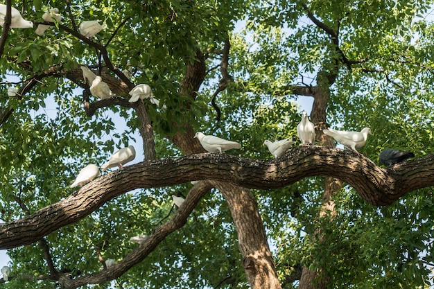 A group of white pigeons in the tree Premium Photo