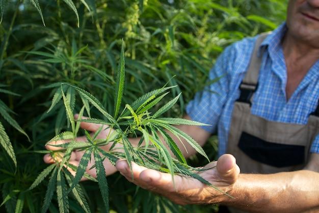 Выращивание каннабиса или конопли для альтернативной медицины Бесплатные Фотографии