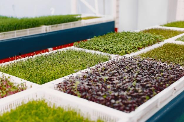 テーブルの背景に成長するマイクログリーン。健康的な食事の概念。健康の象徴として有機栽培された新鮮な庭の農産物。マイクログリーンのクローズアップ。 無料写真
