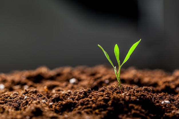 Growing young green corn seedling sprouts in cultivated agricultural farm field Premium Photo