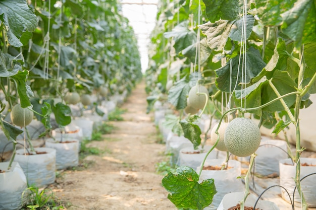 Growth of young melon in glasshouse. Free Photo