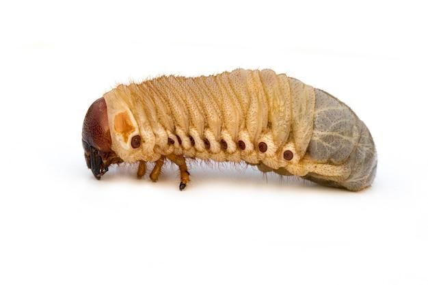 Grub worm изолированный Premium Фотографии