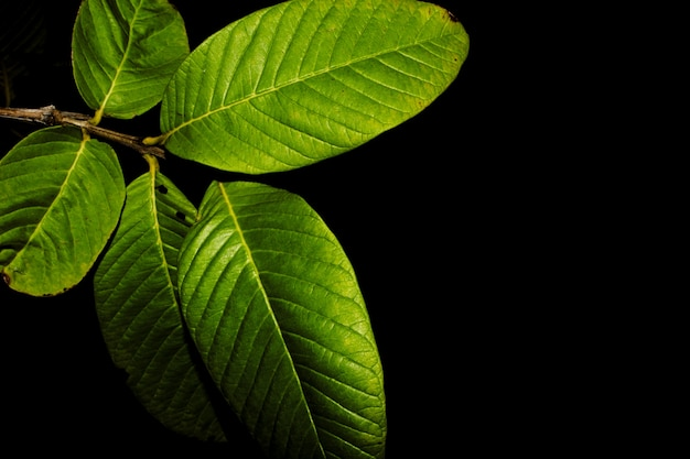 Guava tree leaves at night Free Photo