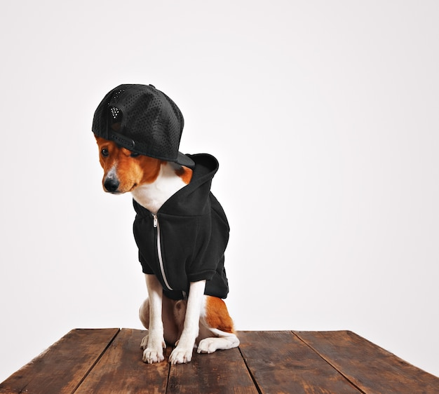 Guilty looking brown and white dog in cool black hoodie and trucker cap with mesh back on a rustic wooden table Free Photo
