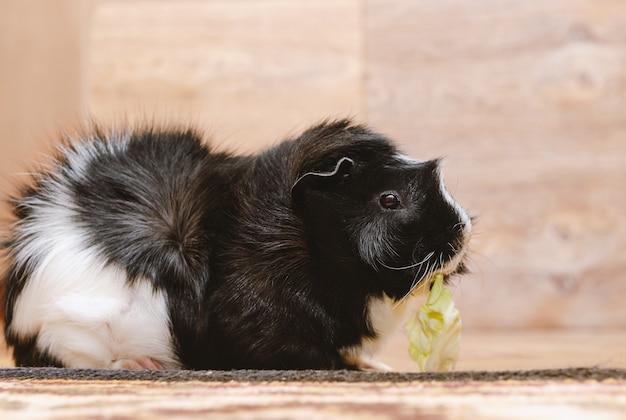 Guinea pig eating cabbage leaf. Premium Photo