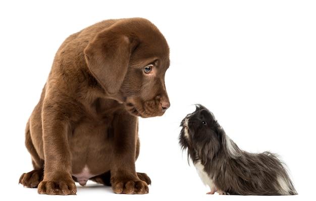 Guinea pig looking at a labrador retriever puppy Premium Photo