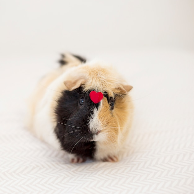 Guinea pig with ornament red heart on front Free Photo