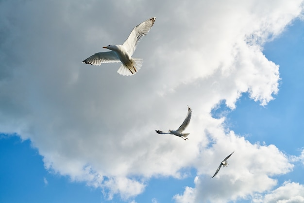 Gulls flying with clouds background Free Photo