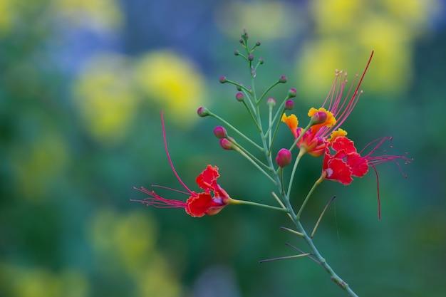 Gulmohar flower Premium写真