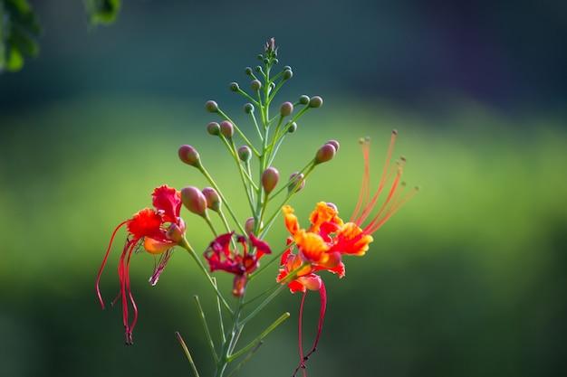 柔らかいボケの背景に見られるgulmoharの花 Premium写真