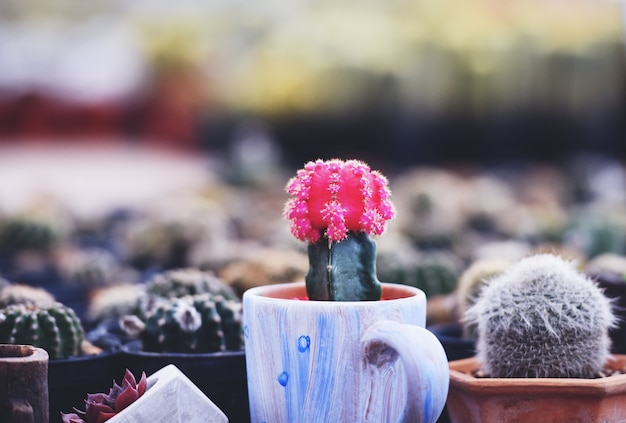 Gymnocalycium cactus, colorful red flowers cactus beautiful in pot planted in the garden nursery farm Premium Photo