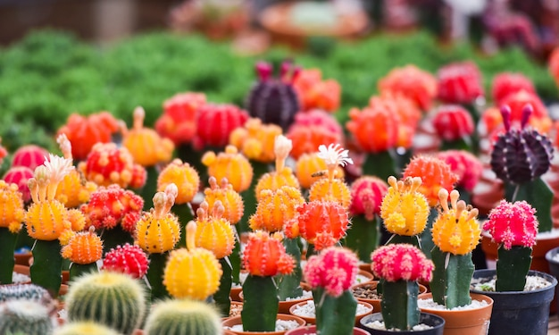 Gymnocalycium cactus / colorful red and yellow flowers cactus beautiful in pot planted Premium Photo