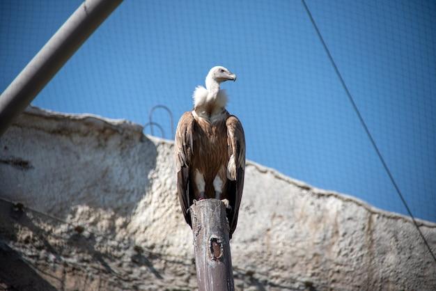 グリフォンのハゲタカ(gyps fulvus)は、動物園の大型の旧世界のハゲタカ Premium写真